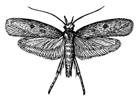 Cloth Moths are destructive to woolen fabrics, vintage line drawing or engraving illustration.