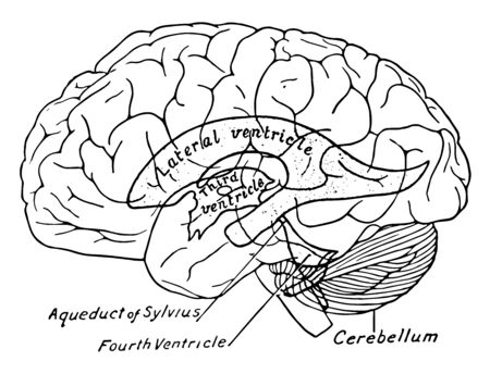 Scheme showing relations of the ventricles to the surface of the brain, vintage line drawing or engraving illustration.