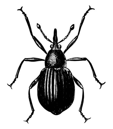 Seed Weevil is a beetle in the Brentidae family of straight snouted weevils, vintage line drawing or engraving illustration.