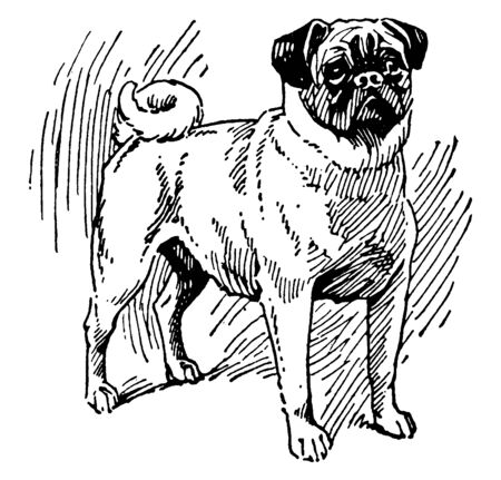 Pug Dog is a breed of dog with physically distinctive features of a wrinkly, vintage line drawing or engraving illustration. Ilustração