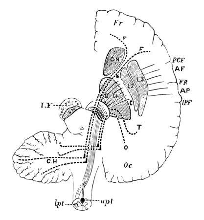 Diagramme pour montrer la connexion des lobes occipitaux frontaux avec le cervelet, dessin de ligne vintage ou illustration de gravure.