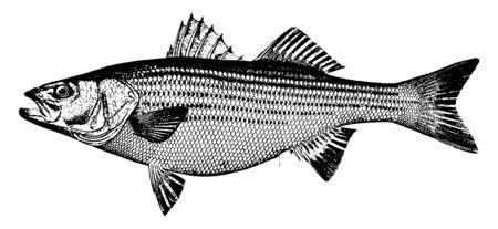 Striped Bass ist ein weichfleischiger Fisch, eine Vintage-Linienzeichnung oder eine Gravurillustration.