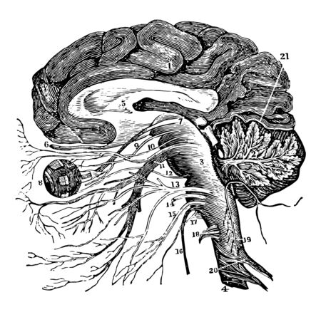 A vertical section of the cerebrum cerebellum and the medulla oblongata showing the relation of the cranial nerves at their origin, vintage line drawing or engraving illustration.