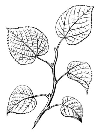This shows the axillary buds on a twig of Basswood, they are alternate like the leaves. They are thorny leaves, vintage line drawing or engraving illustration.