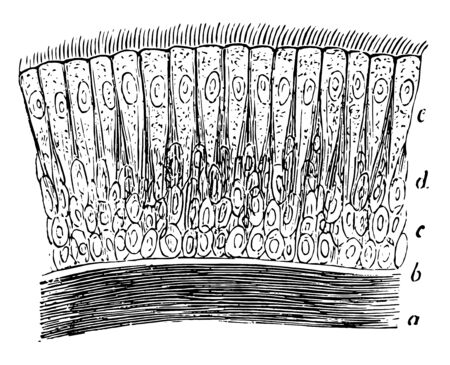 Ciliary epithelium of the human trachea have  layer of longitudinally arranged elastic fibers, vintage line drawing or engraving illustration.