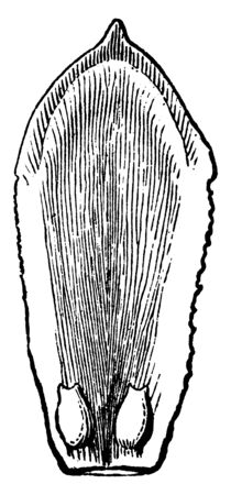 This is one of the carpels or scales of the American Arbor-Vitae. It is a view of inside exposed showing a pair of ovules on its base, vintage line drawing or engraving illustration.