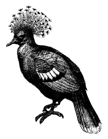 This illustration represents Papuan crowned pigeon, vintage line drawing or engraving illustration.