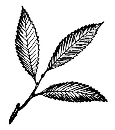 Long and polished chestnut leaves, vintage line drawing or engraving illustration.