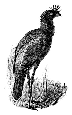 Red Legged Seriema is a predatory terrestrial bird in the Cariamidae family of seriemas, vintage line drawing or engraving illustration.