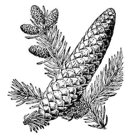 Cones and leaves of balsam fir tree, vintage line drawing or engraving illustration. Illustration