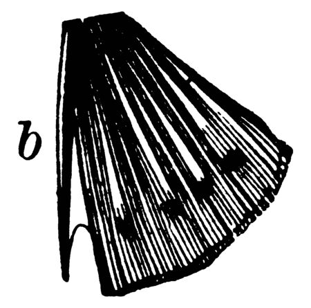 One Spine on the Ventral Fin of a Bony Fish which gives name to the acanthopterygian fishes, vintage line drawing or engraving illustration. Ilustração