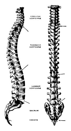 This illustration represents Lateral and Dorsal View of the Vertebral Column, vintage line drawing or engraving illustration.