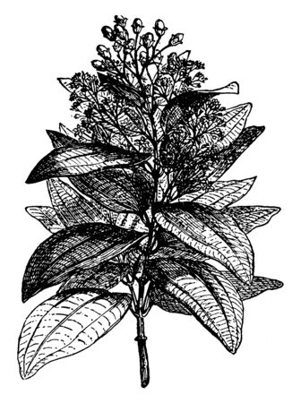 Cinnamon tree with leathery leaves and small flowers, vintage line drawing or engraving illustration.