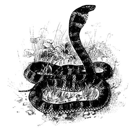 In this image the King Cobra is sitting on green grasses, vintage line drawing or engraving illustration. Illustration