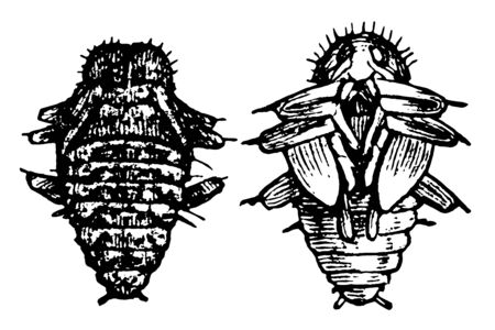 Fungus Beetle Pupa which is belong to the family Erotylidae, vintage line drawing or engraving illustration.