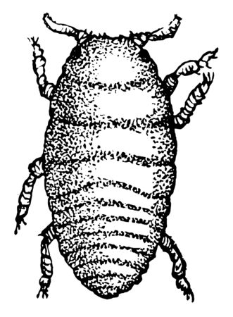 Grape Gall Louse Larva is the small figures showing natural sizes, vintage line drawing or engraving illustration.