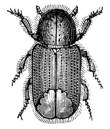 Tomicus Laricis is a pine bark beetle, vintage line drawing or engraving illustration. Vetores