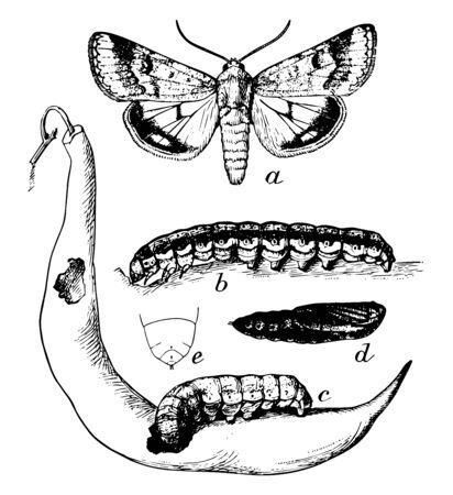 Boll Worm Stages where lighter larva entering pod, vintage line drawing or engraving illustration.