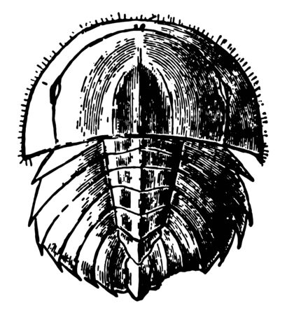 It is more closely related to spiders, ticks, and scorpions than to crabs. As young horseshoe crabs grow, move to deeper waters. Found in Mexico and the north Atlantic coast of North America,  vintage line drawing or engraving illustration. Stock Illustratie