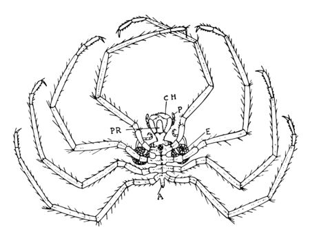 Sea spiders also known as Pantopoda or pycnogonids. They are cosmopolitan, found especially in the Mediterranean and Caribbean Seas, as well as the Arctic and Antarctic Oceans, vintage line drawing or engraving illustration.