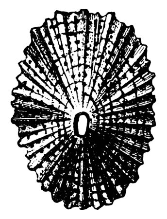 Shell of Keyhole Limpet is a freshwater snail, vintage line drawing or engraving illustration. Stock fotó - 133019848