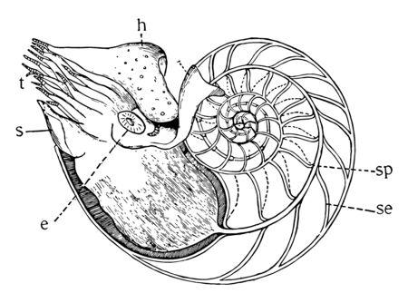 Yellow Slug is a common name for three North American species of terrestrial slug in the genus Ariolimax, vintage line drawing or engraving illustration.