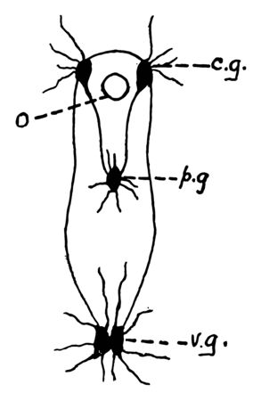 The nervous system of clams consists of three pairs of ganglia connected by nerve cords, vintage line drawing or engraving illustration.