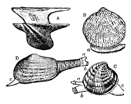 Forms of Bivalves has Avicula and Pectunculus with extended foot, vintage line drawing or engraving illustration.