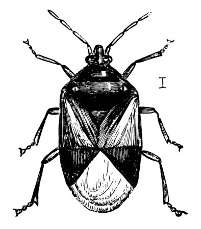 Insidious Flower Bug is an insect in the Heteroptera suborder of true bugs, vintage line drawing or engraving illustration. Иллюстрация