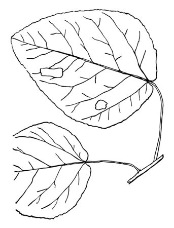 Egg shaped leaves with edged toothed with overlapping lobes, vintage line drawing or engraving illustration. Illustration