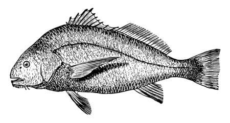 This illustration represents Saltwater Drum, vintage line drawing or engraving illustration.