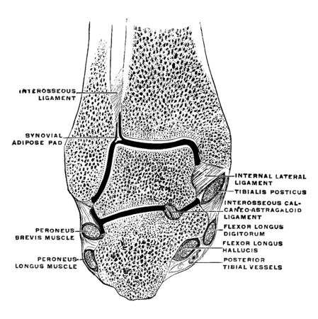 This illustration represents Coronal Section Through the Ankle Joint, vintage line drawing or engraving illustration.