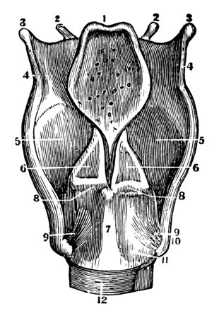 A back view of the cartilages and ligaments of the larynx, vintage line drawing or engraving illustration.
