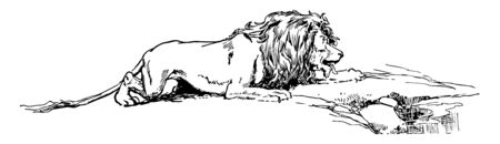 A thirsty lion slowly bringing himself to drink some water, vintage line drawing or engraving illustration