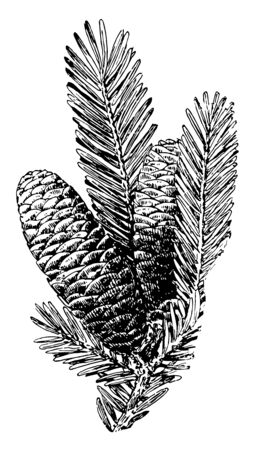 Needle like leaves and cones of Balsam Fir tree, vintage line drawing or engraving illustration. 向量圖像