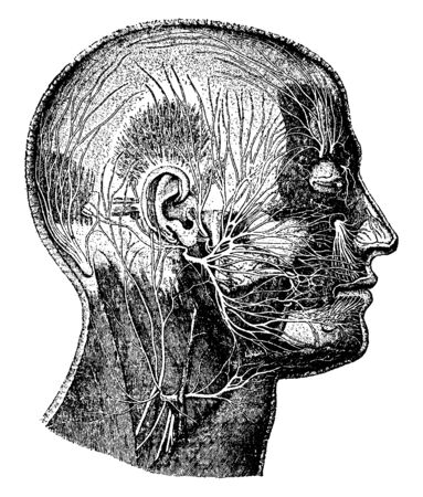 This illustration represents Nerves of the Face, vintage line drawing or engraving illustration.