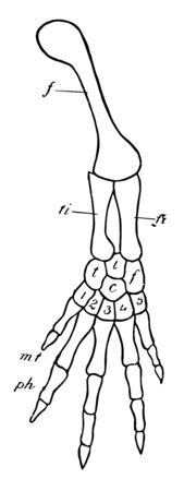 tarsalia bearing the corresponding digits with metatarsals and phalanges, vintage line drawing or engraving illustration.