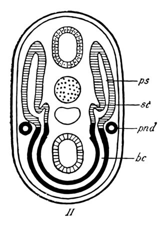 The pronephros is completely separated off from the primitive segment and lateral plate, vintage line drawing or engraving illustration. Ilustração
