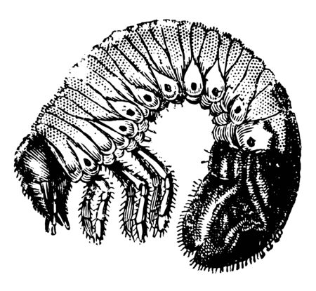Grub of the Cockchafers are harmful attack the roots of plants, vintage line drawing or engraving illustration.