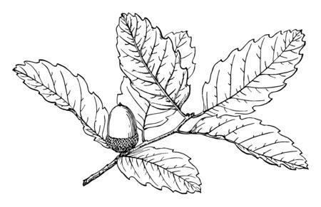Branch of Island oak, any of several species of North American ornamental and timber trees belonging to the red oak group of the genus Quercus, in the beech family, which have Willowlike leaves, vintage line drawing or engraving illustration.