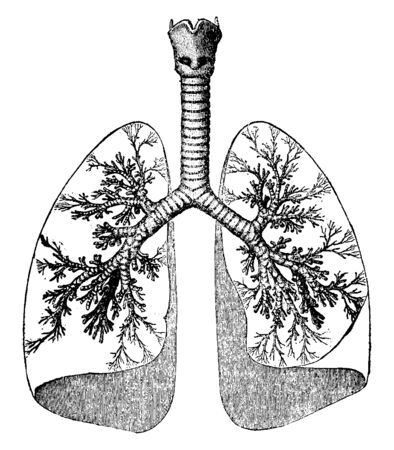 This illustration represents Lungs and Trachea, vintage line drawing or engraving illustration.