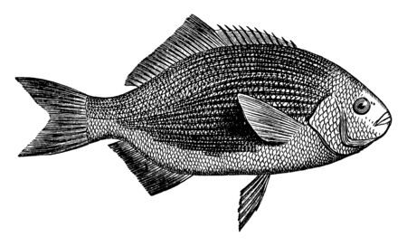 Blue Surf Perch is a family of perciform fishes, vintage line drawing or engraving illustration. Stok Fotoğraf - 133020839