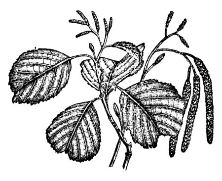 In this image a tree whose wood is soft and red. It is a wetland tree that grows, vintage line drawing or engraving illustration.