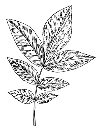 An oppositional Hickory pair of leaves from a single leaf, vintage line drawing or engraving illustration.