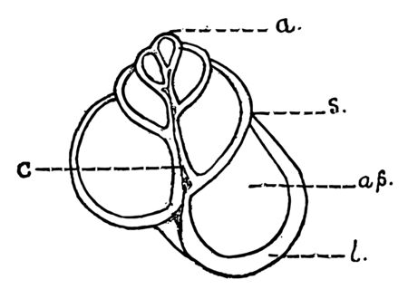 Helix Shell an empty shell in section from apex to base, vintage line drawing or engraving illustration.