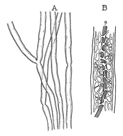 Myelinic axons in fresh state showing few nodes, vintage line drawing or engraving illustration.