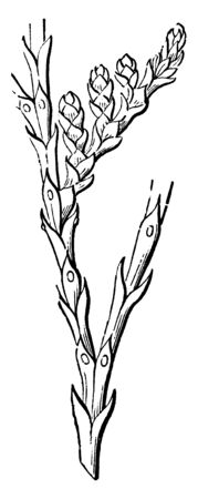 This picture is showing the branch of Arbor-Vitae. It is awl-shaped and has scale-shaped leaves, vintage line drawing or engraving illustration.