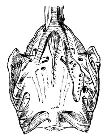Respiratory Organs of a Pigeon where the external air penetrates into every part of their body by the respiratory tubes, vintage line drawing or engraving illustration.