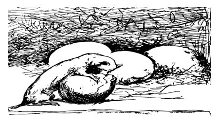 Weasel with Eggs where a weasel stealing eggs out of a chicken coup, vintage line drawing or engraving illustration.