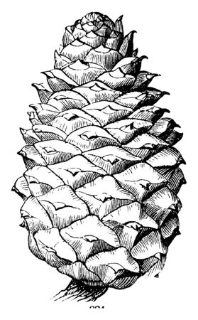 This is an image of Pine cone. It is like a whole Pistillate flower, vintage line drawing or engraving illustration. Stock Illustratie